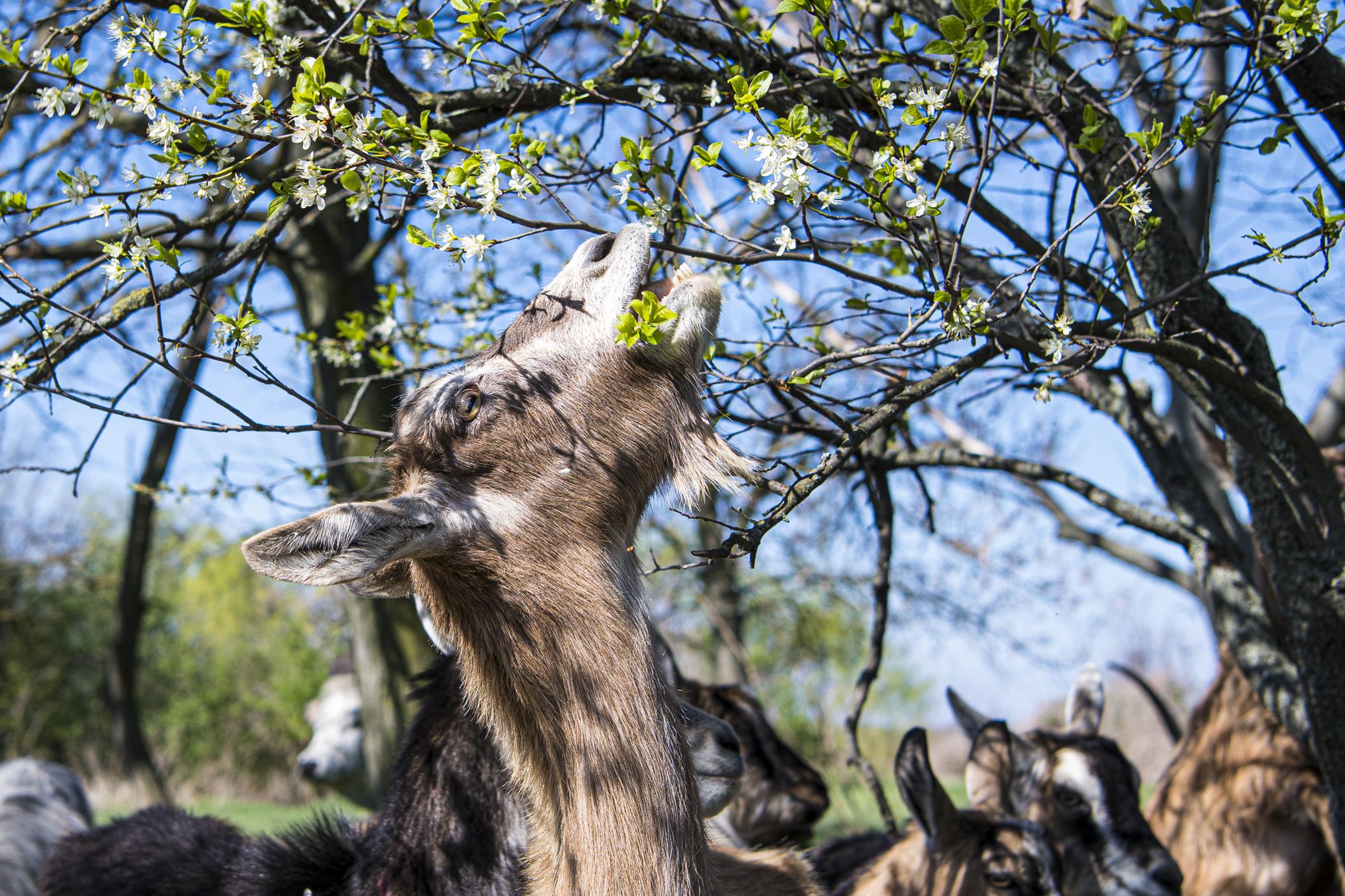 kecske legeli a szilvafa rügyeit